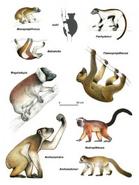 Giant Lemurs of Madagascar illustration