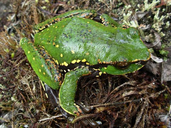 Angiana Tree Frog