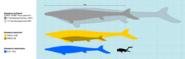 Size comparison of three Mosasaurus