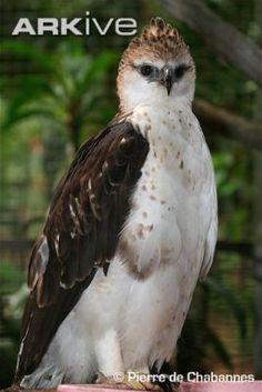 Flores Hawk-eagle