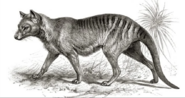 Thylacine black and white illustration