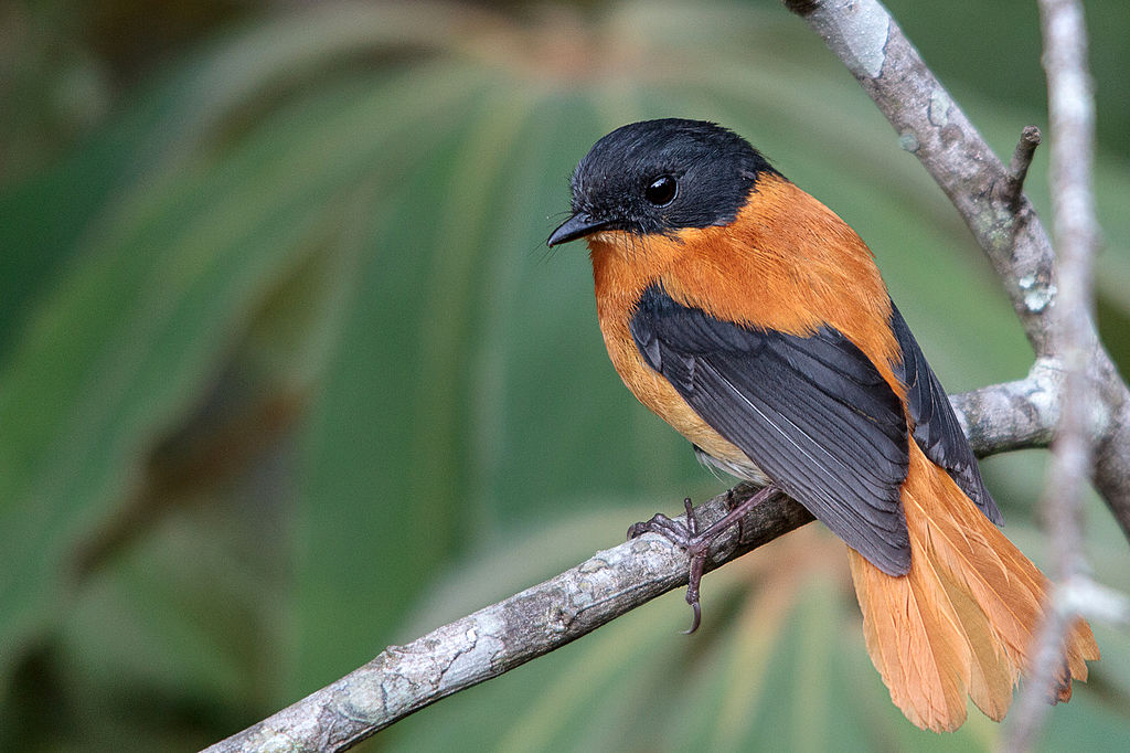 Black And Orange Flycatcher Animal