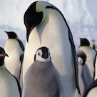 Emperor-penguin-group-baby square
