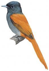 Bates's Paradise Flycatcher