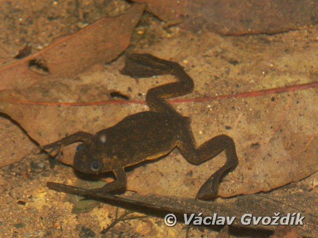 Lake Oku Clawed Frog