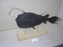Krøyer's Deep Sea Angler Fish