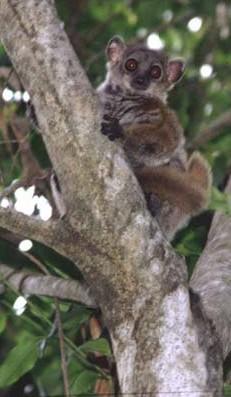 AEECL's Sportive Lemur