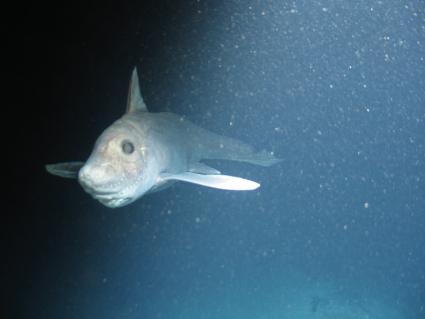 Smalleyed Rabbitfish