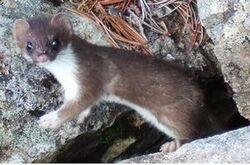 Weasel-1.jpg