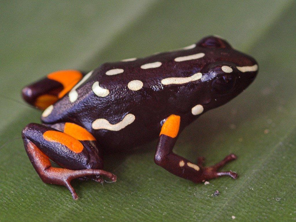 Brazil-nut Poison Frog