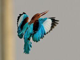 White-throated kingfisher.jpg
