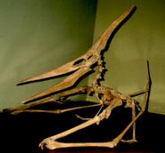 Quadrupedal Pteranodon skeleton