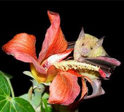 Poey bat web Mancina.jpg