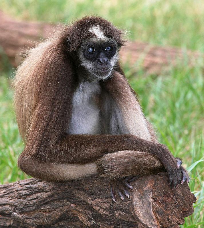 Brown Spider Monkey