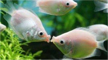 Kissing Gourami
