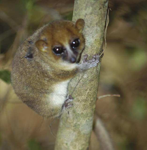 Arnhold's Mouse Lemur