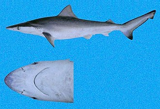 Pacific Smalltail Shark