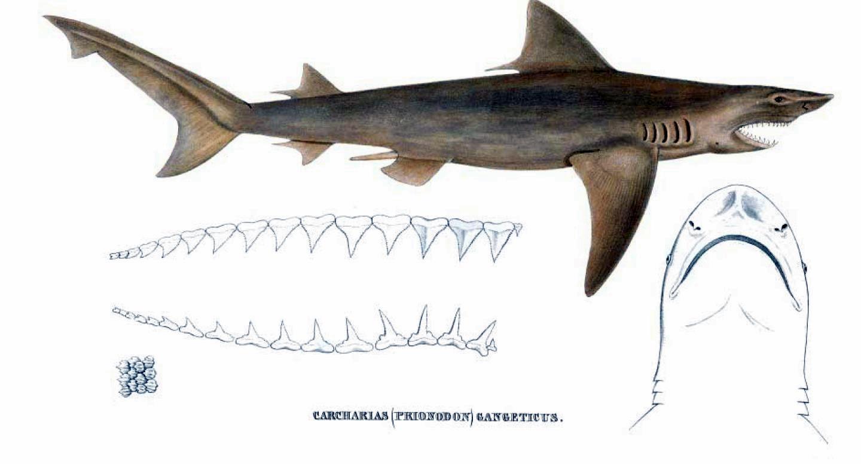 Ganges Shark