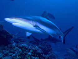 Grey Shark.jpg