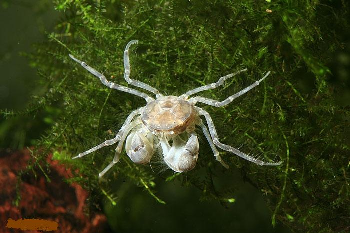Thai Micro Crab