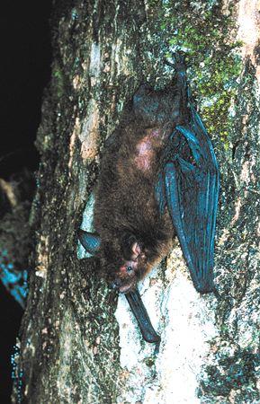 Dominican Myotis