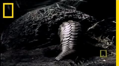 What in the World is a Pangolin? National Geographic