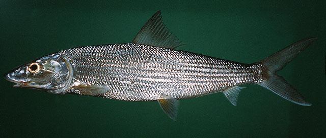 Longjaw Bonefish
