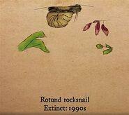 Rotund Rocksnail-1