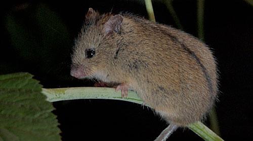 Armenian Birch Mouse