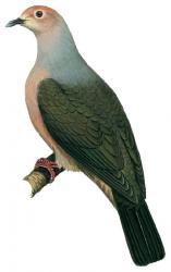 Grey Imperial Pigeon