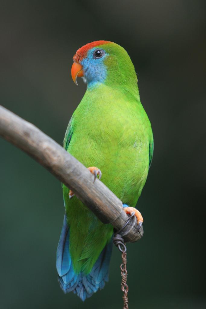 Camiguin Hanging Parrot