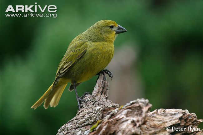 Inaccessible Island Finch