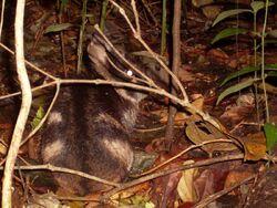 Rabbit-of-Sumatra-Nesolagus-Netscheri-HD.jpg