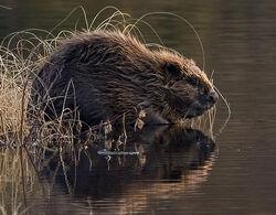 BeaverEurope.jpg