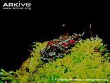 Atelopus simulatus