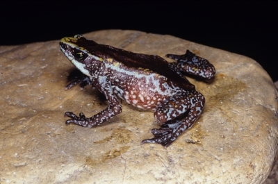 Chiriqui Harlequin Frog