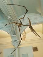 Mounted replica of a male Pteranodon longiceps