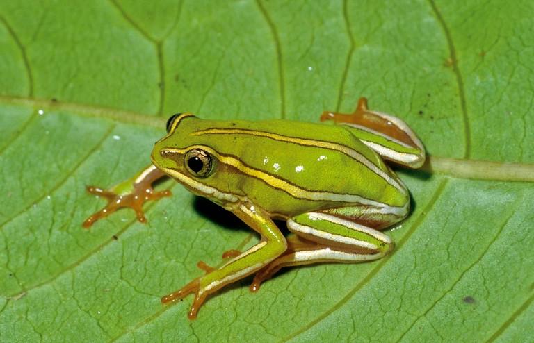 Heterixalus rutenbergi