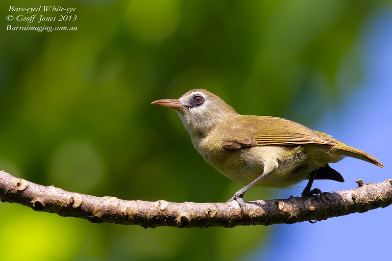 Bare-eyed White-eye