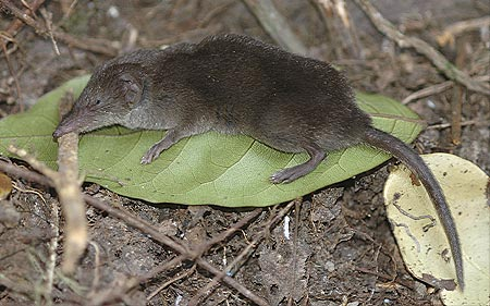 African Black Shrew
