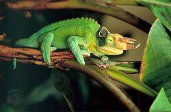 Jacksons chameleon.jpg