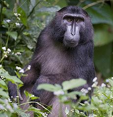 Gorontalo Macaque