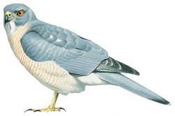 Nicobar Sparrowhawk