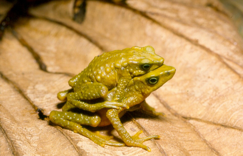 Forest Stubfoot Toad