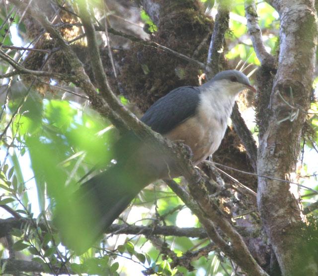 Buru Mountain Pigeon