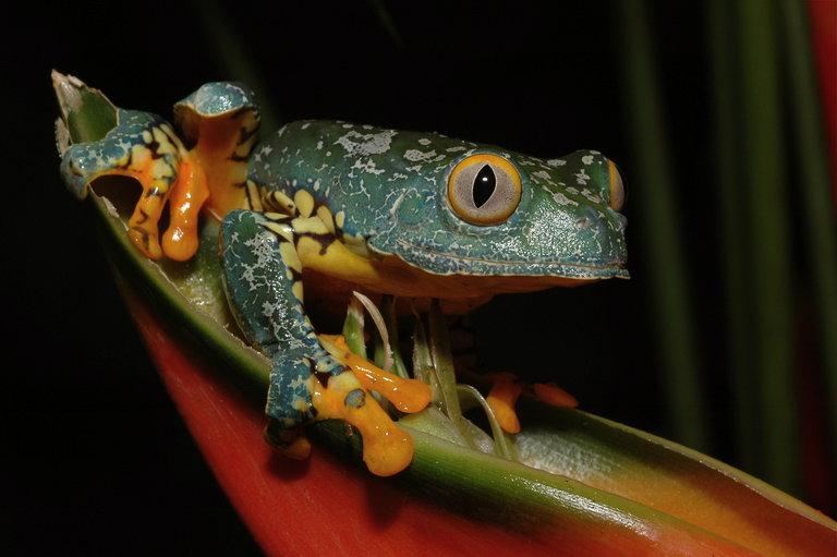 Fringe Tree Frog