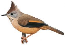 Stripe-throated Yuhina