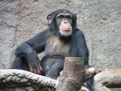 Common Chimp.jpg