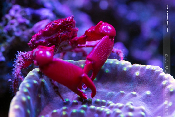 Ruby Red Mithrax Crab