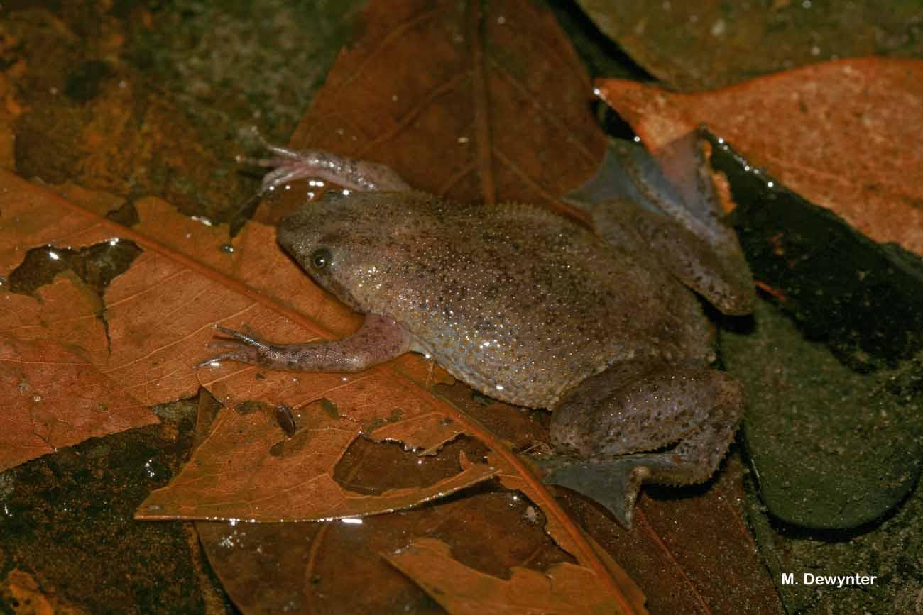 Albina Suriname Toad